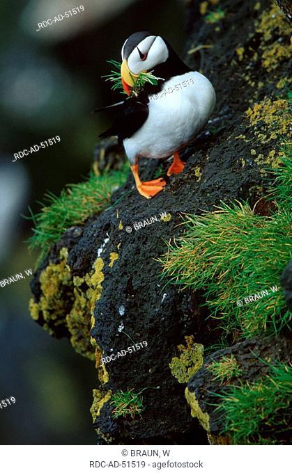 Horned Puffin Pribilof Islands Aleutian Islands Alaska USA Fratercula corniculata
