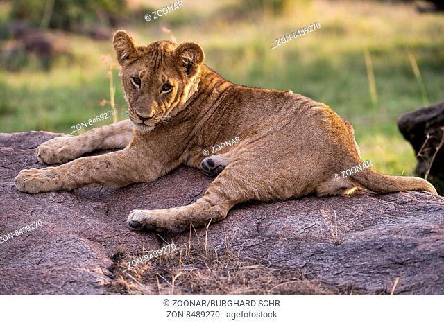 adult, africa, african, animal, background, big, carnivore, cat, closeup, creature, danger, dangerous, endangered, environment, feline, fur, head, hunter