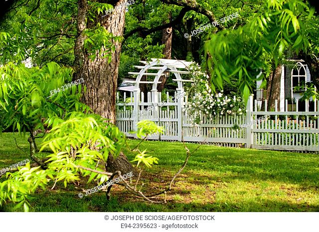 A white picket fence and gate framed by pecan tree leaves with a climbing white rose in a garden.Georgia USA