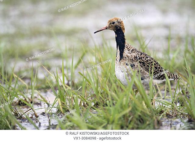 Ruff ( Philomachus pugnax ), male, resting in marshland during spring migration, searching for food, wildlife, Germany