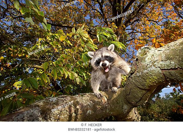 common raccoon (Procyon lotor), six month old male climbing on a tree, Germany