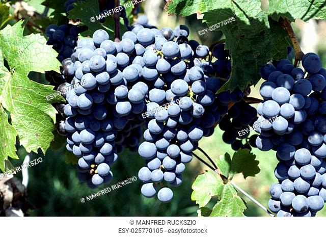carbenet franc,red wine,red,grapes
