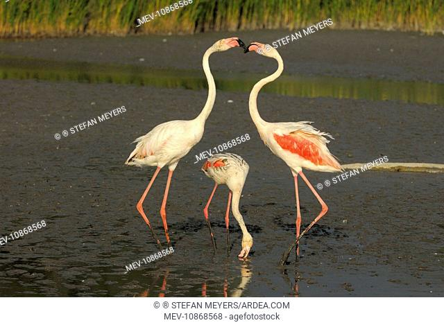 Greater Flamingo - feeding and fighting (Phoenicopterus ruber). Camargue - France