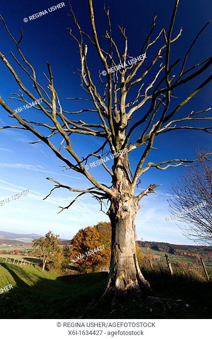 Common Oak, Quercus robur, Dead Tree on Meadow, Hessen, Germany
