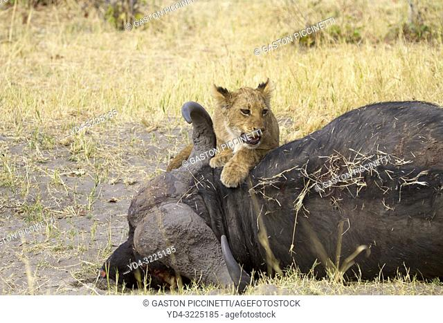 African Lion (Panthera leo) - Cub on the carcass of a Cape Buffalo (Syncerus caffer caffer) which was killed two nights before by the females of the pride