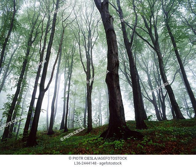 Beech wood, Poland