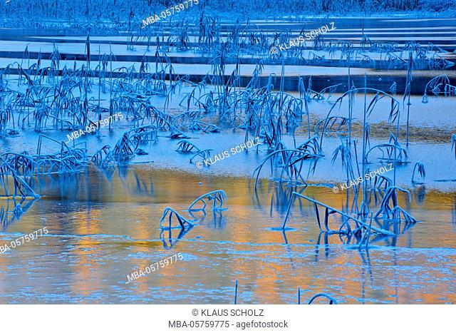 frost-covered reed in ice sheet