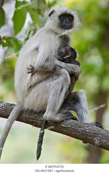 Female with baby of gray langur monkey (Semnopithecus dussumieri) in Kanha National Park, India. - 03/08/2007