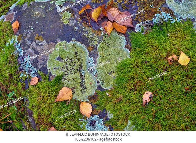 france,yvelines,chevreuse valley : rambouillet forest, pine needles, lichen and moss on rock