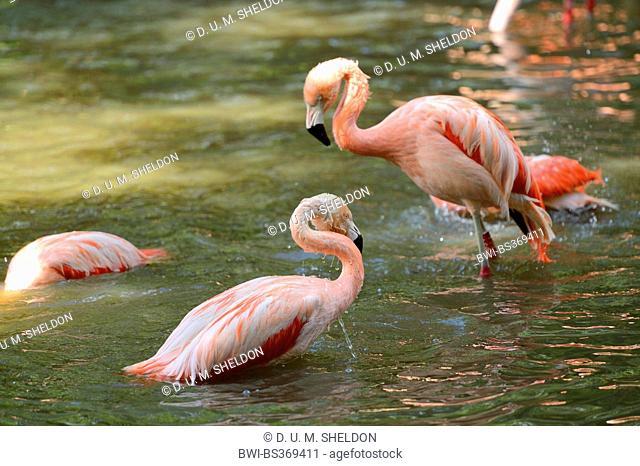 Greater flamingo, American flamingo, Caribbean Flamingo (Phoenicopterus ruber ruber), taking a bath in spring