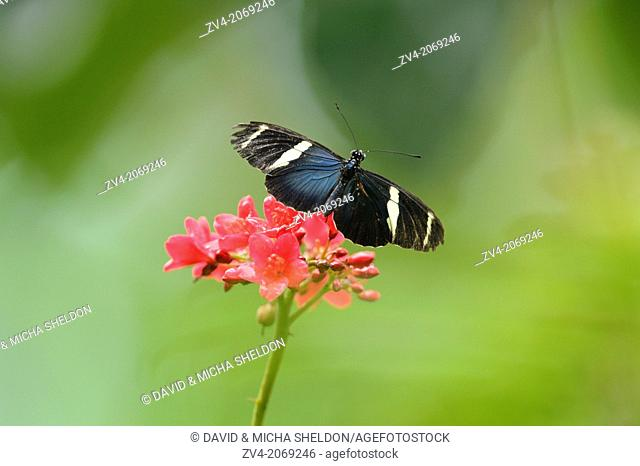 Close-up of a Sara Longwing (Heliconius sara) butterfly
