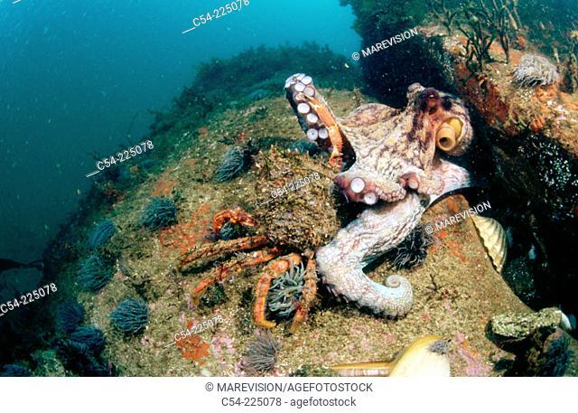 Common Octopus (Octopus vulgaris) & Spider Crab (Maja squinado)