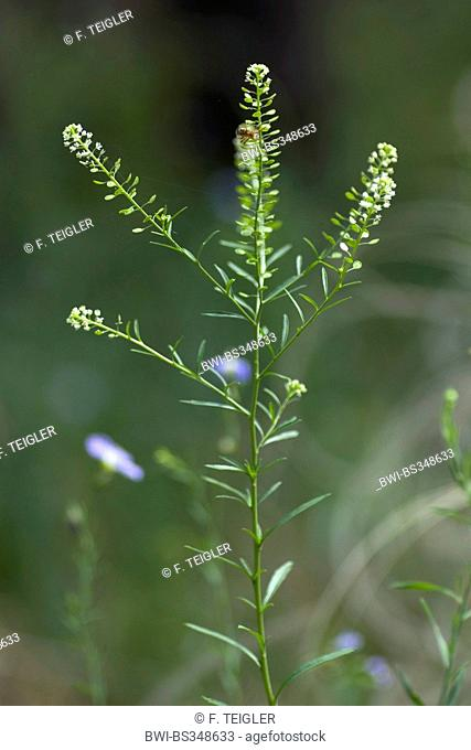 American pepperwort, poor man's pepperwort (Lepidium virginicum), blooming, Germany