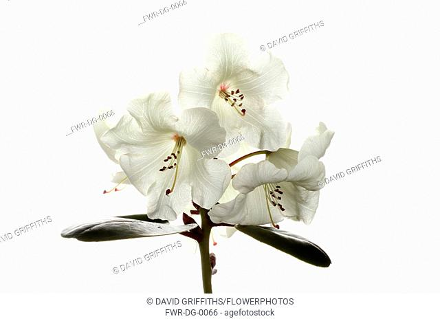 Rhododendron, Studio shot of white flowers on a stem against a pure white background