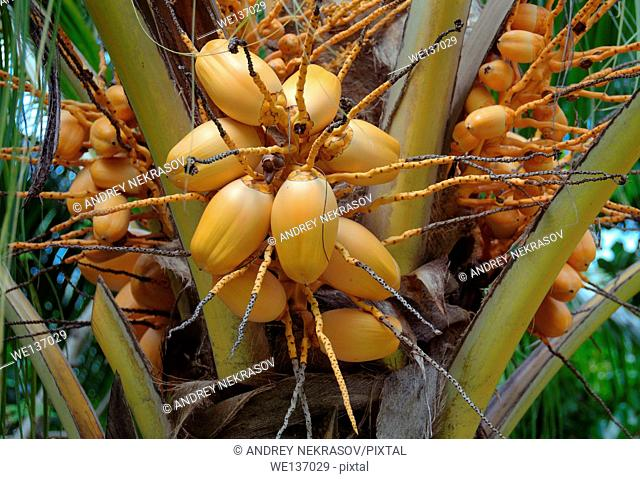 Ripe coconuts on a palm tree, Denis island, Seychelles