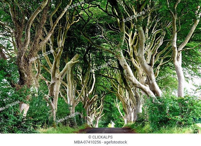 Northern Ireland, County Antrim, UK. The Dark Hedges on morning
