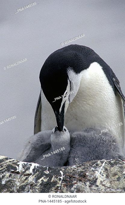 Chinstrap Penguin feeding her young on Deception Island, Antarctica
