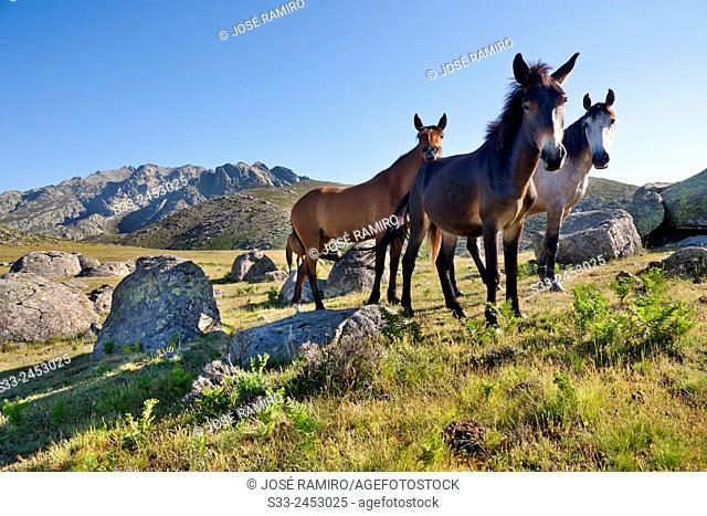 Wild horses at the Rituerta pass. Sierra de Gredos. Avila. Castilla Leon. Spain. Europe