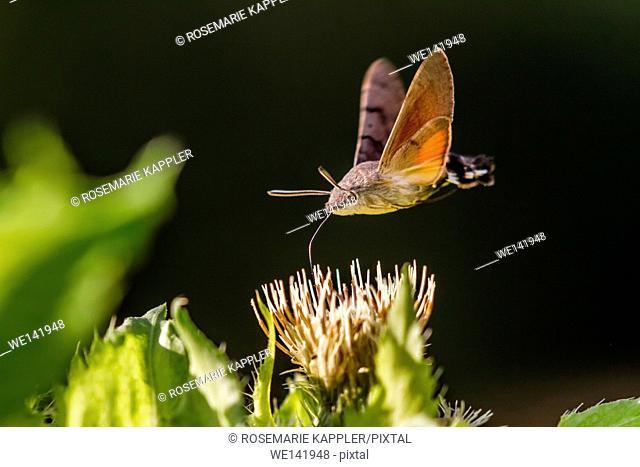 Germany, Saarland, Niederbexbach, A hummingbird hawkmoth suckles on a flower