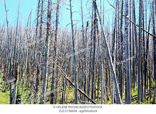 Burn forest in Yellowstone national park, Wyoming, USA
