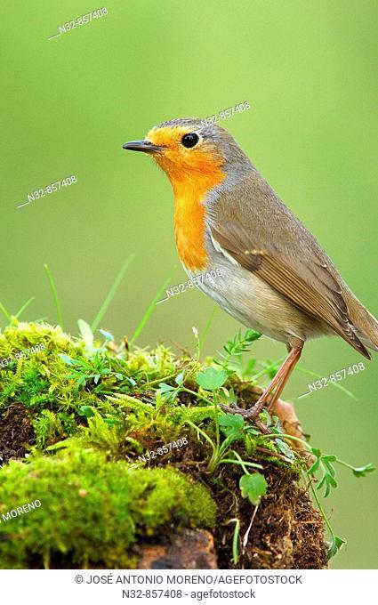 European Robin (Erithacus rubecula). Jaen province, Andalusia, Spain