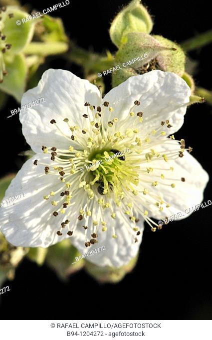 Flower of Blackberry (Rubus ulmifolius, fam. Rosaceae). Osseja, Languedoc-Roussillon, Pyrenees Orientales, France