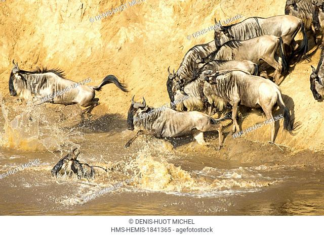 Kenya, Masai-Mara game reserve, wildebeest (Connochaetes taurinus), Migration, crossing the Mara river