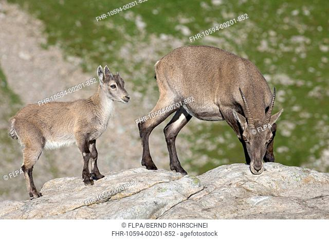 Alpine Ibex Capra ibex adult female with young, standing on rocks, Niederhorn, Swiss Alps, Bernese Oberland, Switzerland, August