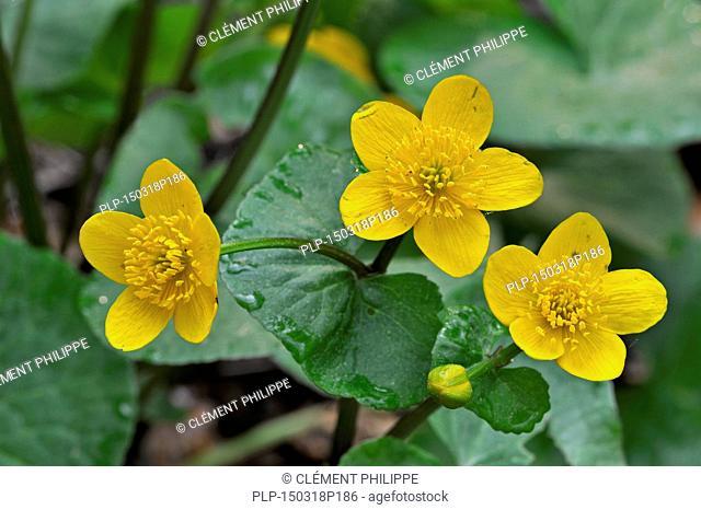 Kingcup / marsh marigold (Caltha palustris) in flower