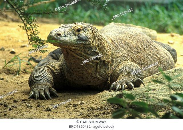reptile, DRAGON, komodo, Komodo Rinca Padar Isl , Varanus komodensis
