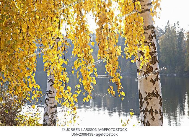 Birch in autumn, Hälsingland, Sweden