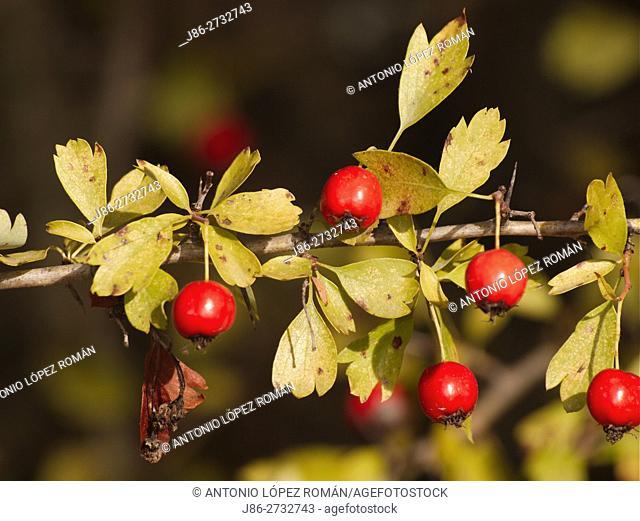 Medicinal Fruits of Crataegus monogyna. Sierra de Hornachuelos Natural Park. Cordona province, Andalusia, Spain