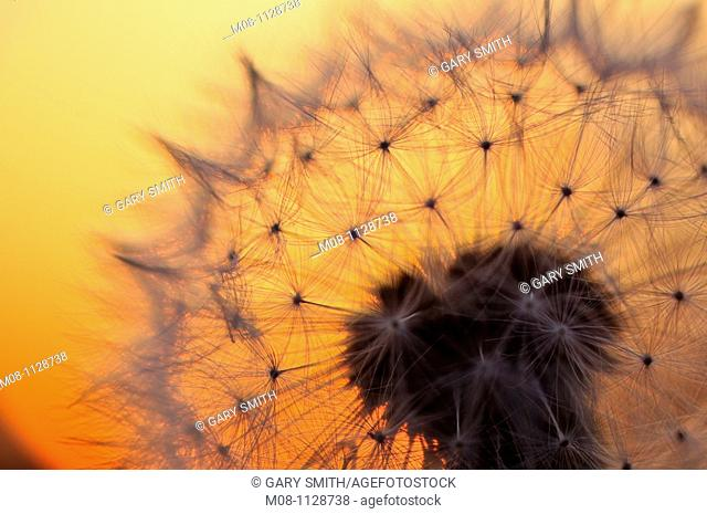 Common Dandelion (Taraxacum officinale), seedhead silhouette against sunset, Norfolk, UK, May