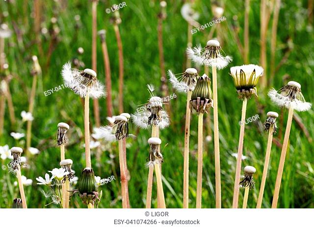 growing on the meadow white dandelions seeds from which the wind blew, spring nature close-up