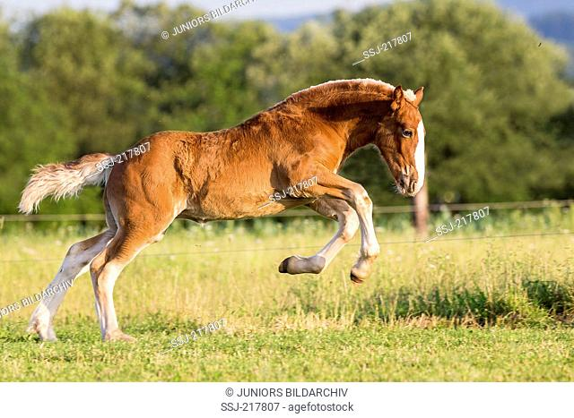 South German Coldblood. Chestnut foal leaping on a pasture. Germany
