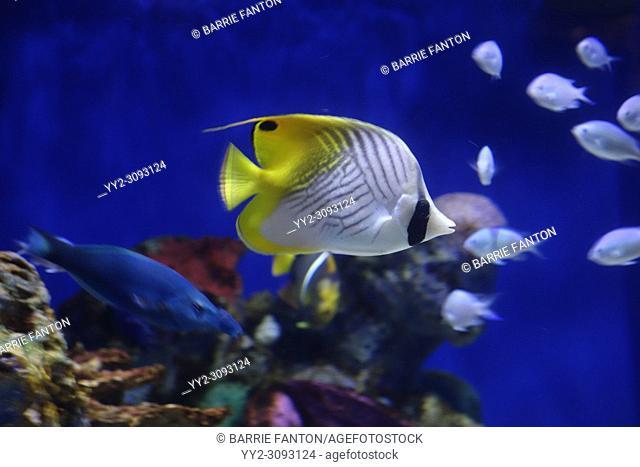 Butterflyfish in Tropical Fish Tank, Aquarium of Niagara, Niagara Falls, New York, USA