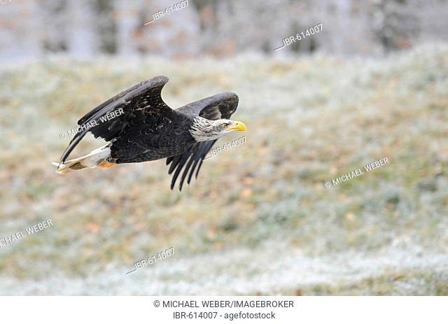 European sea-eagle, White-tailed Eagle (Haliaeetus albicilla)