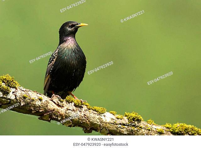 Starling bird on the branch (sturnus vulgaris)