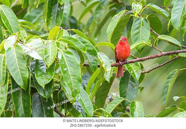 Summer Tanager, Piranga rubra sitting in a tree at Laguna del Lagarto, Boca Tapada, san Carlos, Costa Rica