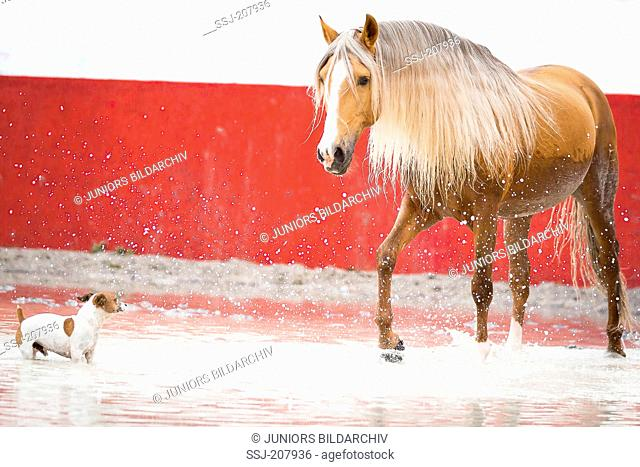 Lusitano stallion and Jack Russell Terrier playing in a flooded bullfighting arena. Portugal