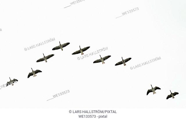 Flock of greylag geese flying in V-formation, Sweden