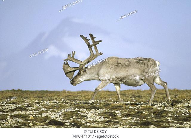 SVARLBARD REINDEER (Rangifer tarandus platyrhynchus), BULL IN VELVET AND SUMMER MOLT, NY-ALESUND, SPTISBERGEN ISLAND, SVARLBARD ARCHIPELAGO, NORWEGIAN ARCTIC