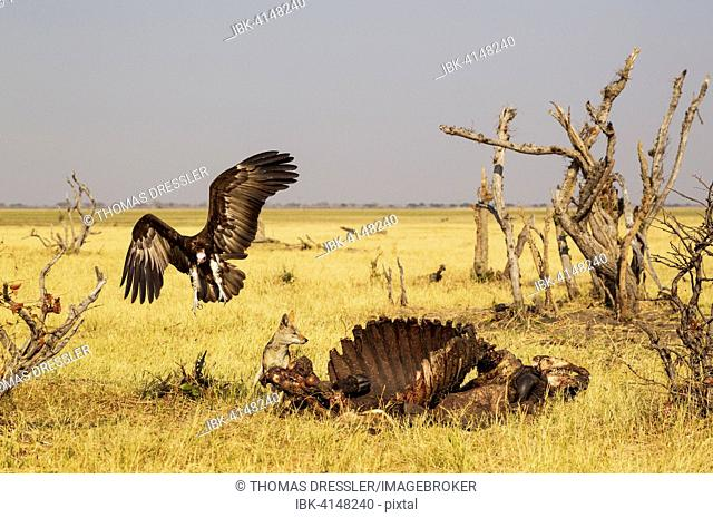 Black-backed Jackal (Canis mesomelas) and Hooded Vulture (Necrosyrtes monachus) at the carcass of a Cape Buffalo (Syncerus caffer caffer), Savuti