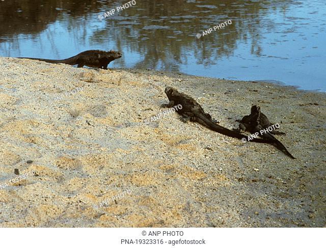 Marine Iguana Amblyrhynchus cristatus - Galapagos Islands, Ecuador, South America