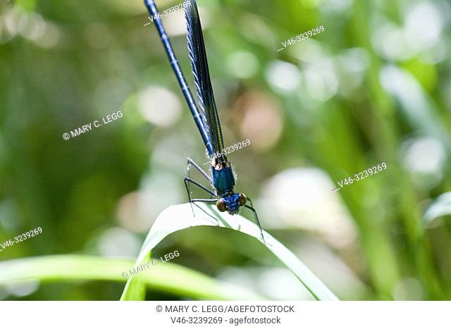Male Beautiful demoiselle, Calopteryx virgo. males are metallic blue with dark blue netted wings, females are green with coppery wings