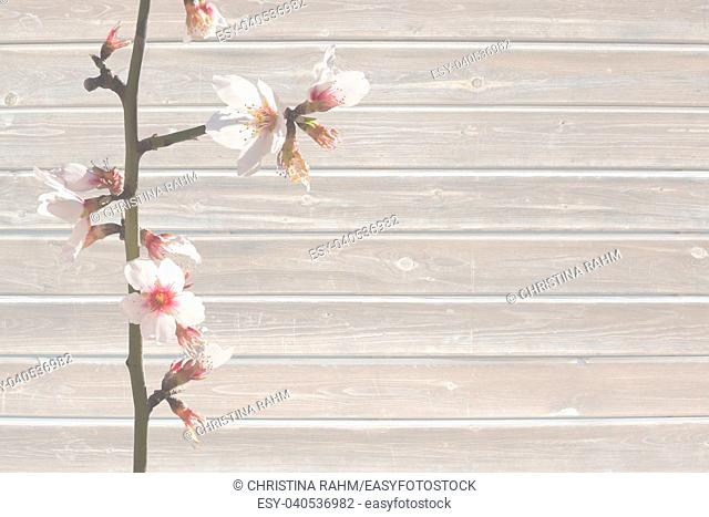 Almond spring flowers on scratched wood plank background texture with torn, vintage grungy distressed surface