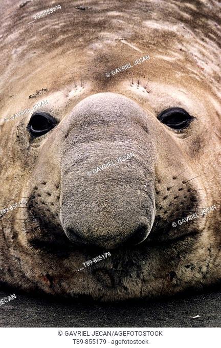 Southern Elephant Seal Mirounga leonina