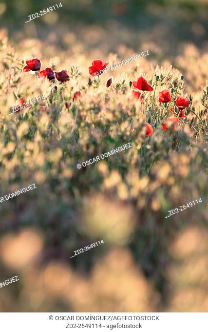 Common Poppy (Papaver rhoeas) in meadow at sunrise. Lleida province. Catalonia. Spain
