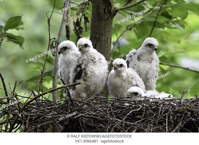 Sparrowhawks ( Accipiter nisus ), young chicks, sitting in their eyrie, hopeful watching, waiting for food, wildlife, Germany
