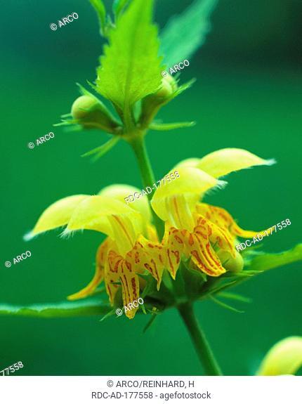 Yellow Archangel, Lamium galeobdolon